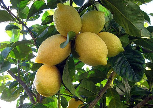 Как сделать прививки лимона фото 978