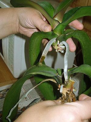 Один из способов размножения орхидеи - срез верхушечного черенка с воздушными корнями