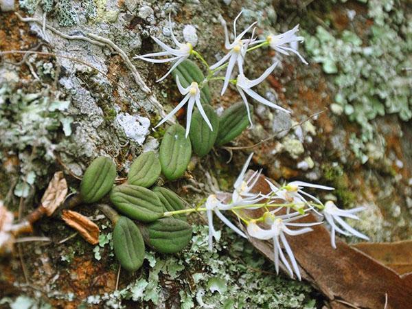 Орхидея, растущая на камнях