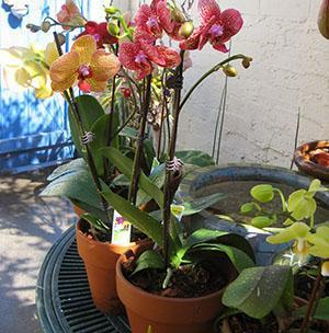 Орхидею нужно периодически пересаживать