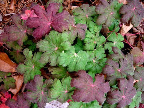 Осенняя листва садовой герани