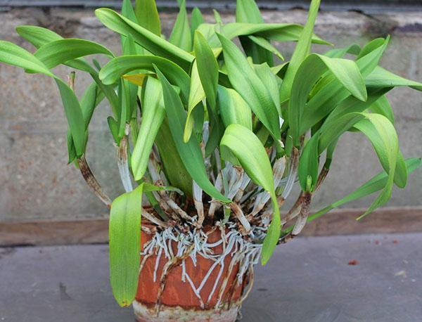 Особенностью орхидеи являются воздушные корни