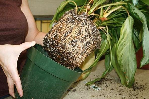 Пересадка растения и ревизия корневой системы
