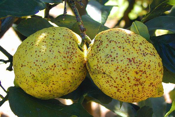 Плоды зараженного лимона