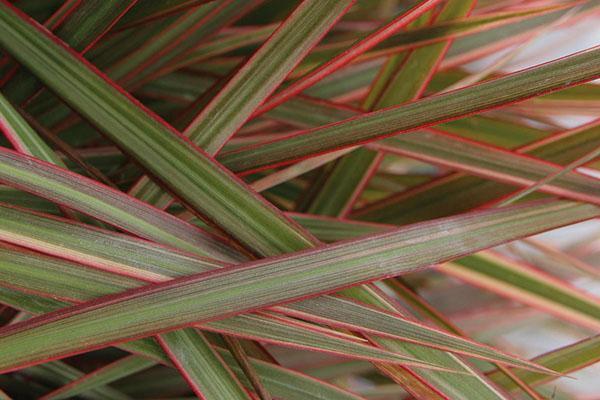 Плотная жилистая листва драцены маргинаты