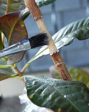Подготовка растения к размножению воздушным отводком