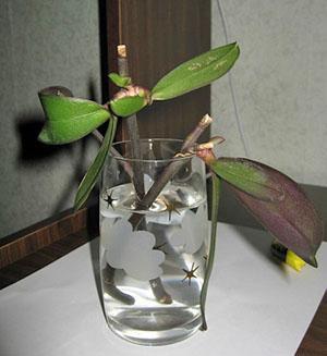Получить новое растение можно из цветоноса