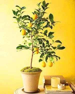 После прививки черенка плодоносящего растения лимон даст свои плоды