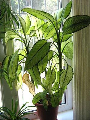 При недостатке света у растения могут желтеть листья
