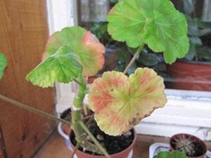 При низкой температуре воздуха листья герани становятся красными