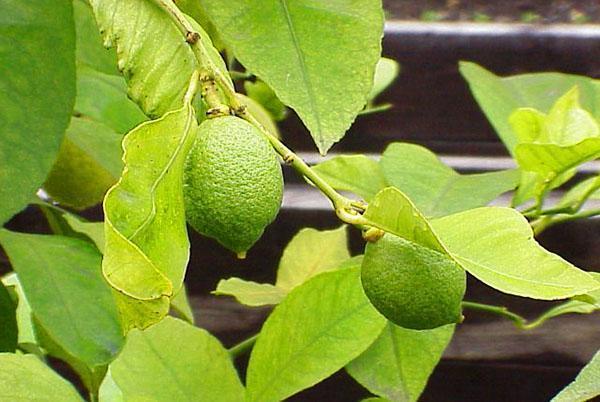 При правильном поливе и внесении подкормок лимон Мейера начинает плодоносить