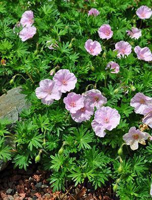 При правильном уходе герань в саду порадует пышным цветением