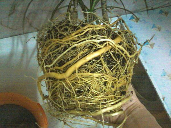При заполнении корнями горшка необходимо делать пересадку