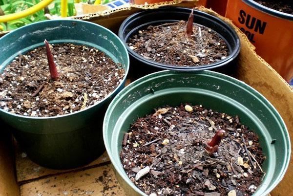 Прорастают клубни каладиума