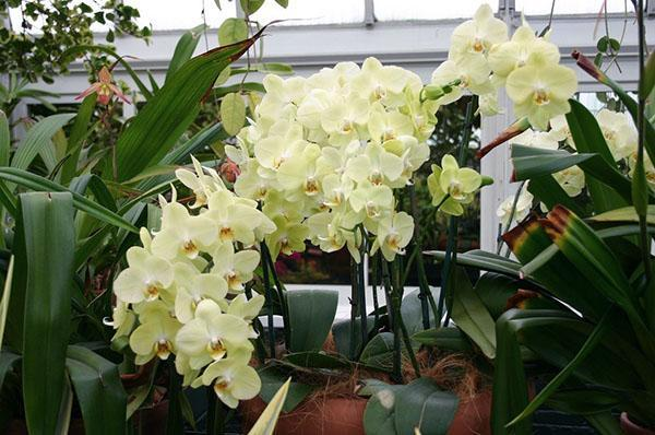 Радует глаз цветение орхидеи