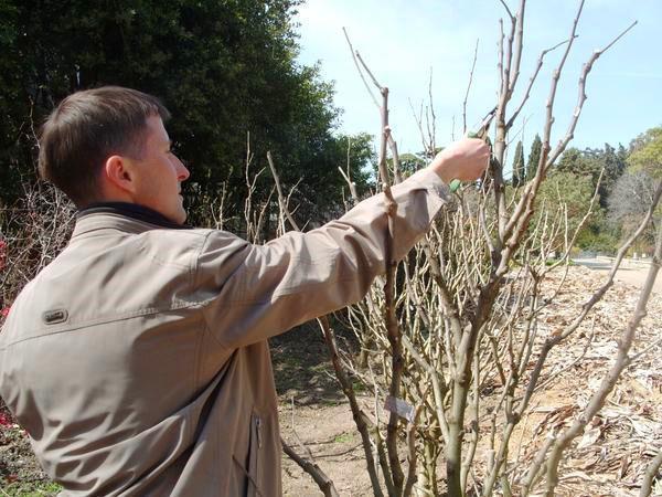 Ранней весной проводят стимулируюшую, прореживающую и корректирующую обрезку