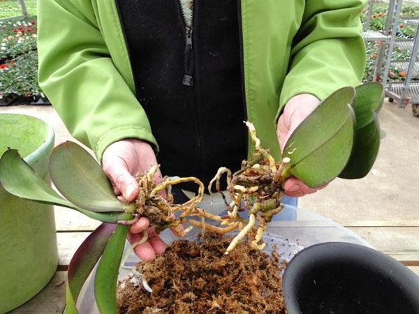 Рассаживание орхидеи