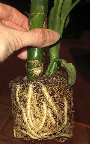 Растение требует срочной пересадки