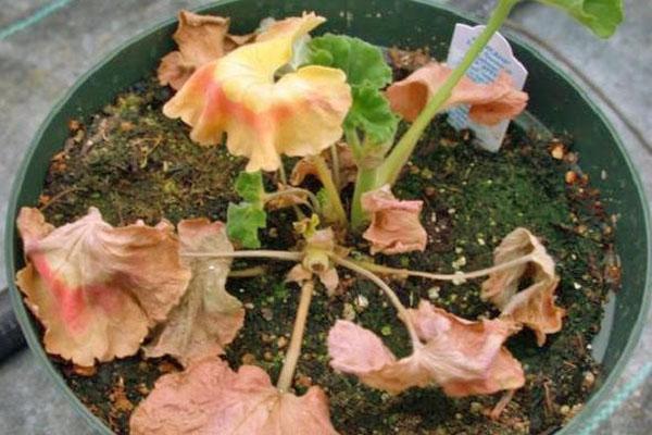 Растение засыхает