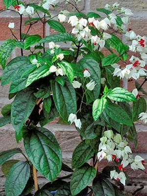 Растению в горшке нужен регулярный полив и подкормка