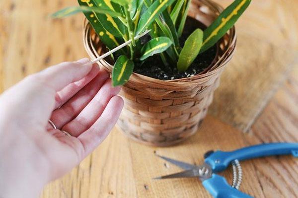 Размножать кротон черенками нужно ранней весной