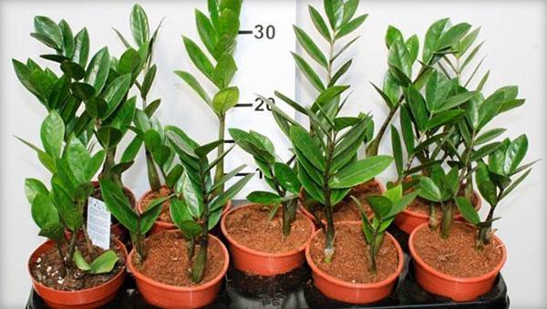 Размножение замиокулькаса черенками и листами