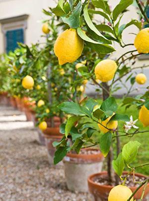 Как сделать прививки лимона фото 905