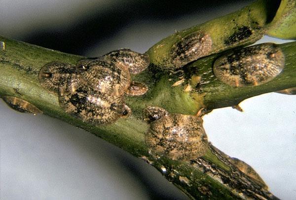 Щитовка наносит растению непоправимый вред