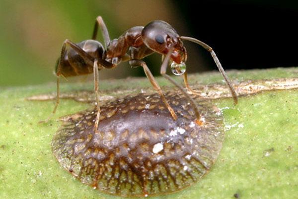 Щитовка и муравей