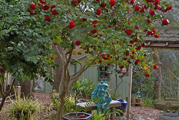 Садовая камелия хорошо переносит температуру ниже 15 градусов тепла