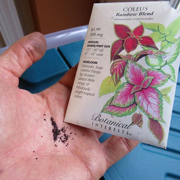 Семена колеуса