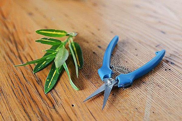 Срез черенка подсушить, а листья подрезать