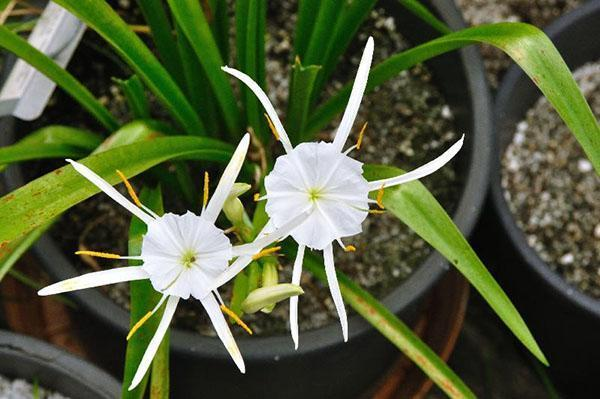 Только при правильном уходе гименокаллис порадует цветением