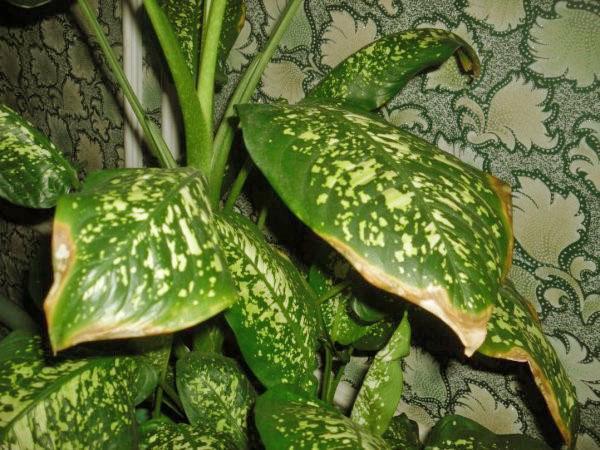 У диффенбахии сохнут кончики листьев