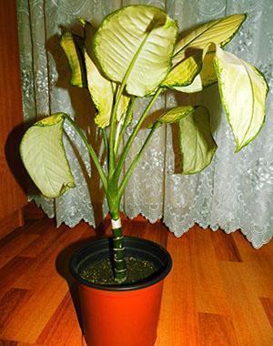У диффенбахии желтеют листья