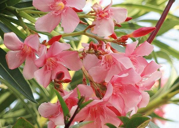 Удивительное цветение олеандра