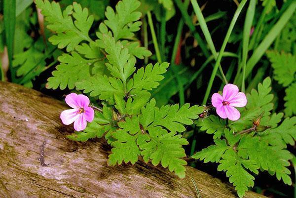 В лечебных целях используют все части растения