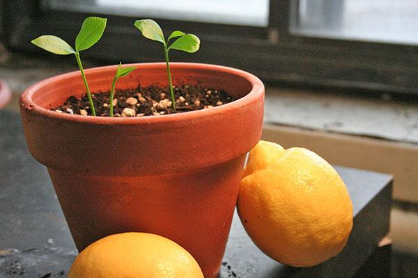 Всходы косточек лимона