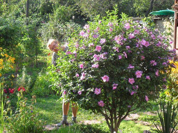Выращивание гибискуса в средней полосе России