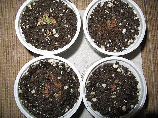 Высаженные клубни дают первые листья