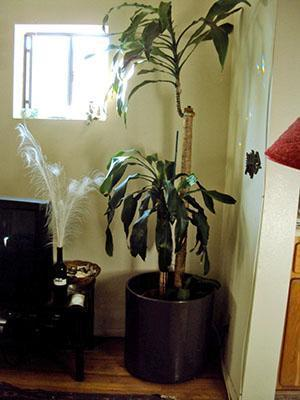 Взрослая драцена душистая похожа на пальму