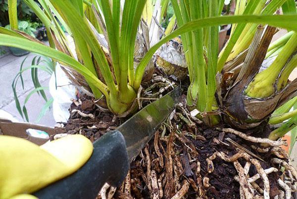 Взрослое растение аккуратно разделяют на части с корневищем