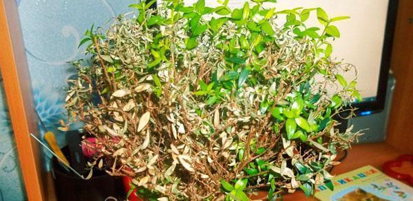 Это больное растение еще можно спасти