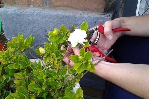 Увядшие цветы необходимо срезать