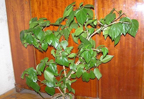 опадает листва гибискуса