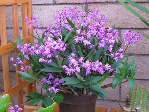 Как выращивать орхидеи дендробиум в домашних условиях?