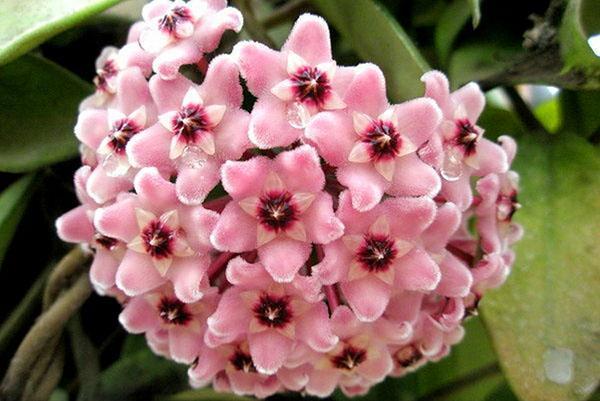 Ароматные цветочные корзинки хойи