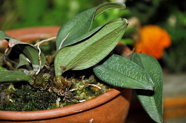 Чрезмерный полив лет ом может привести к потере тугора листы