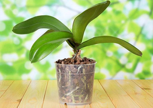 Чтобы орхидея зацвела, создайте ей стрессовую ситуацию