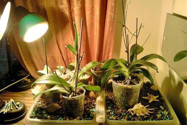Чтобы зацвести зимой, орхидее нужен дополнительный свет